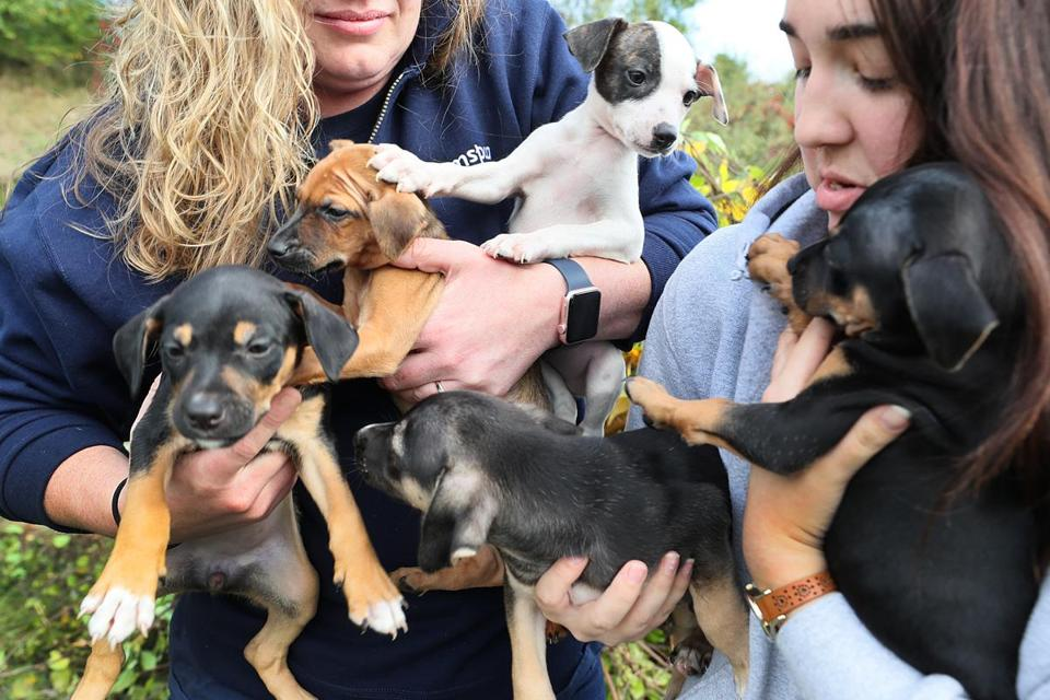 At the MSPCA, a litter of five 8-week-old puppies rescued from storm-ravaged Puerto Rico will soon be available for adoption.